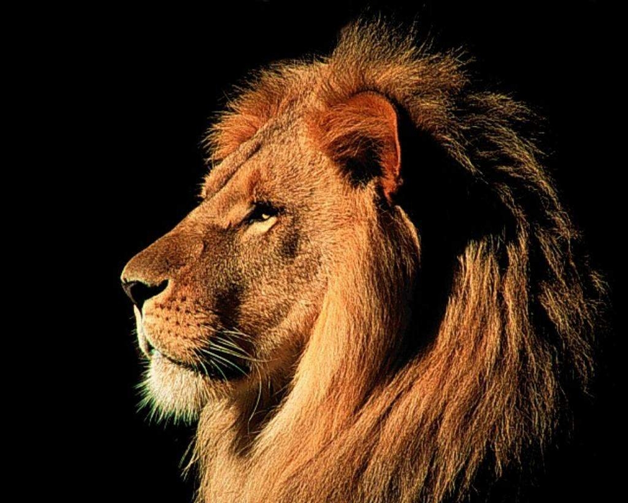 Good Wallpaper Home Screen Lion - lion_wallpaper_free  Best Photo Reference_36264.jpg